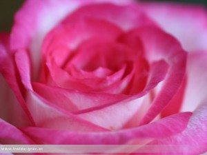 Rose Schnittblume