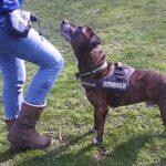 Staffordshire Terrier Shadow sucht ein zu Hause