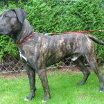 Dogo Canario Rüde Amigo sucht ein zu Hause