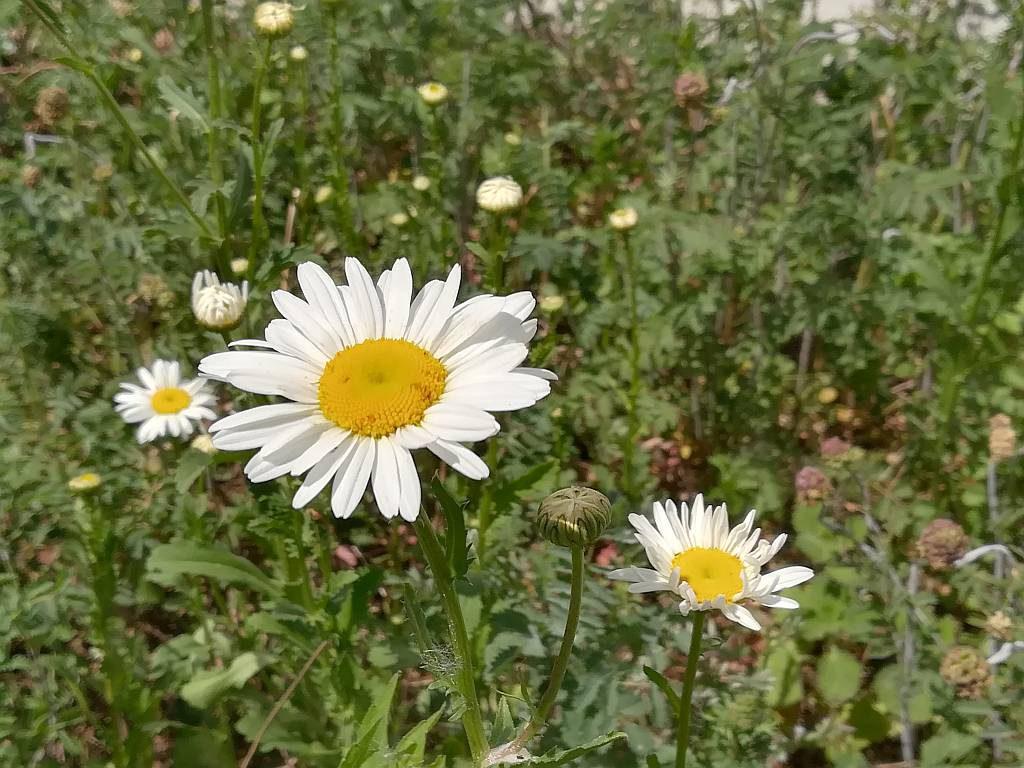 Wiesenmargarite Leucantheum vulgare